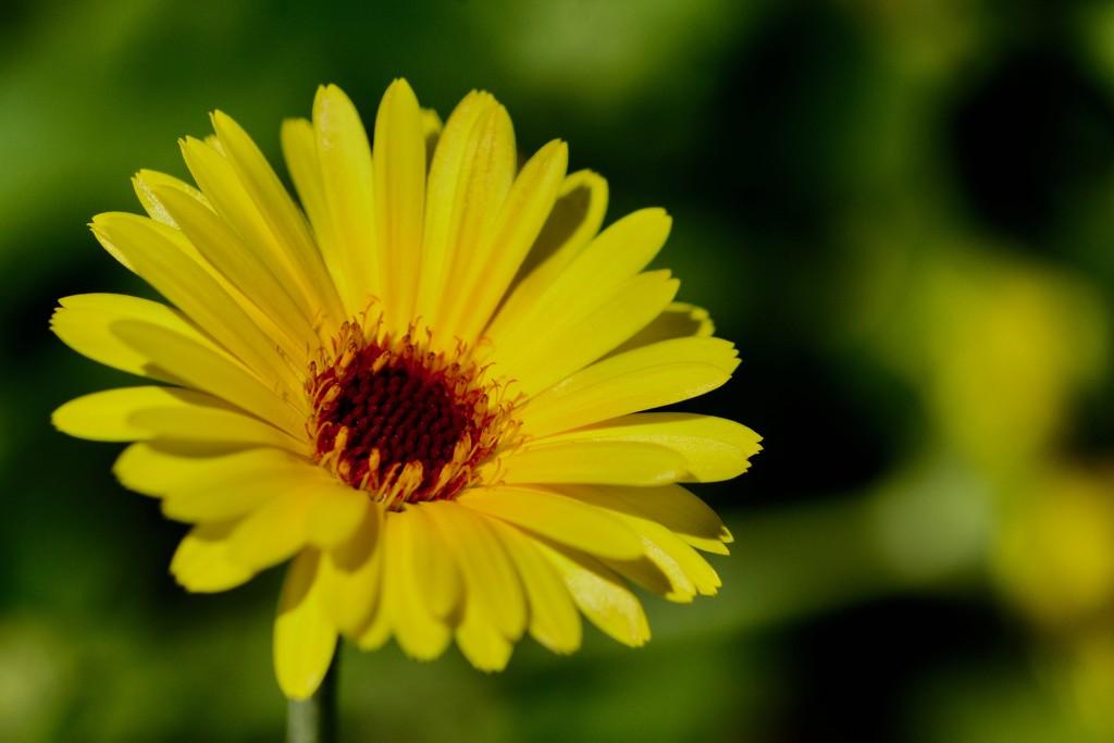 A Little Bit Of Sunshine _DSC4459 by merrelyn