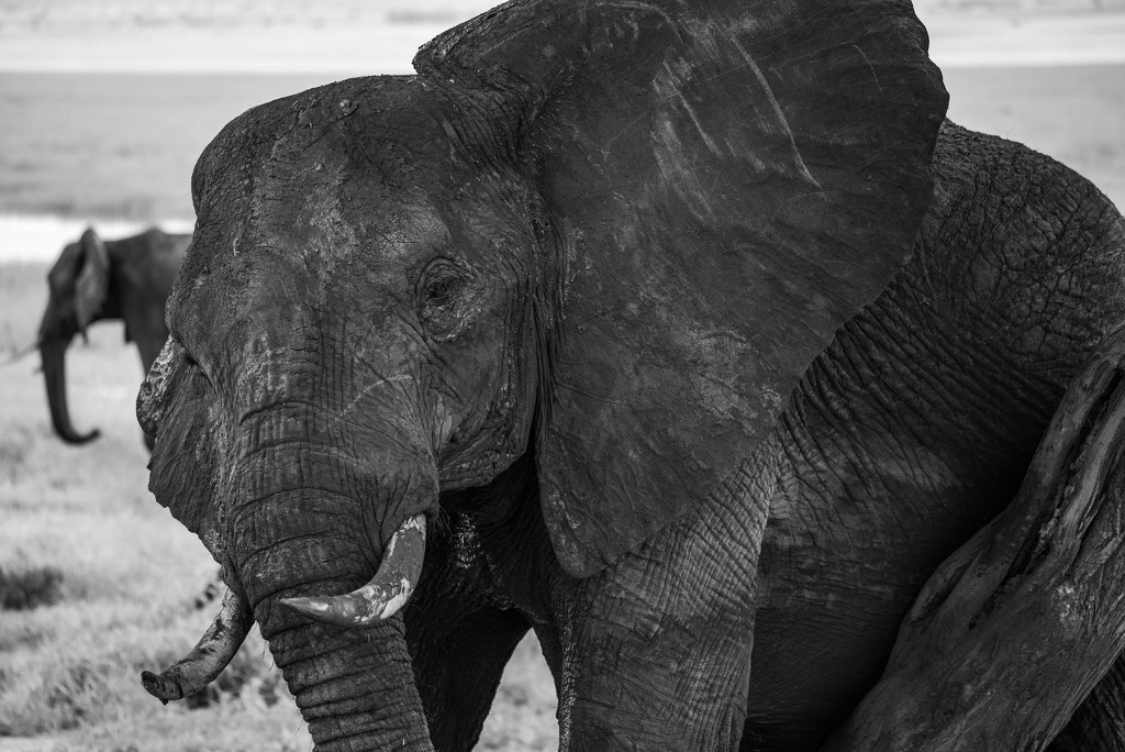 Elephant Has Seen a  Lot in Her Lifetime by taffy