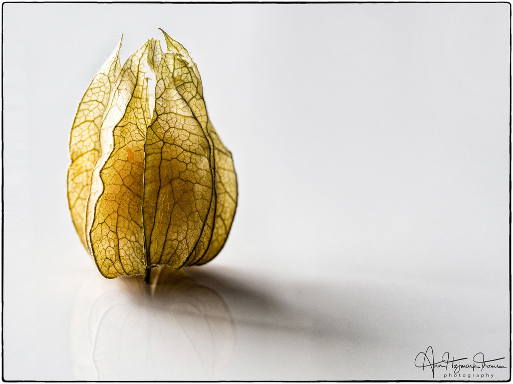 Physalis by atchoo