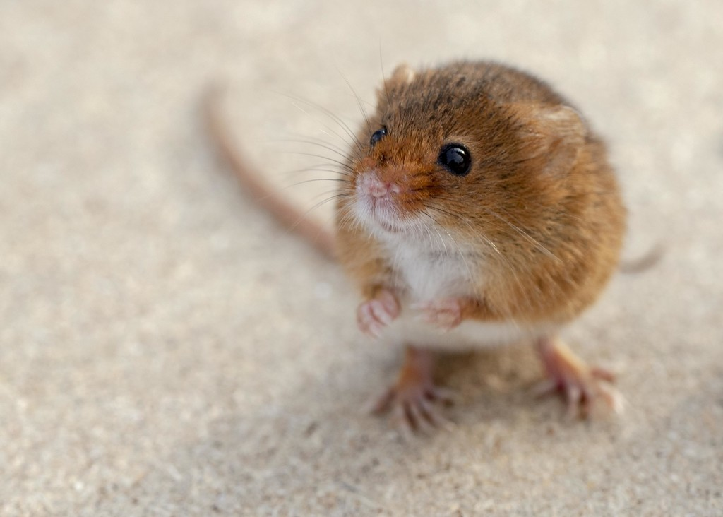 Harvest Mouse by shepherdmanswife