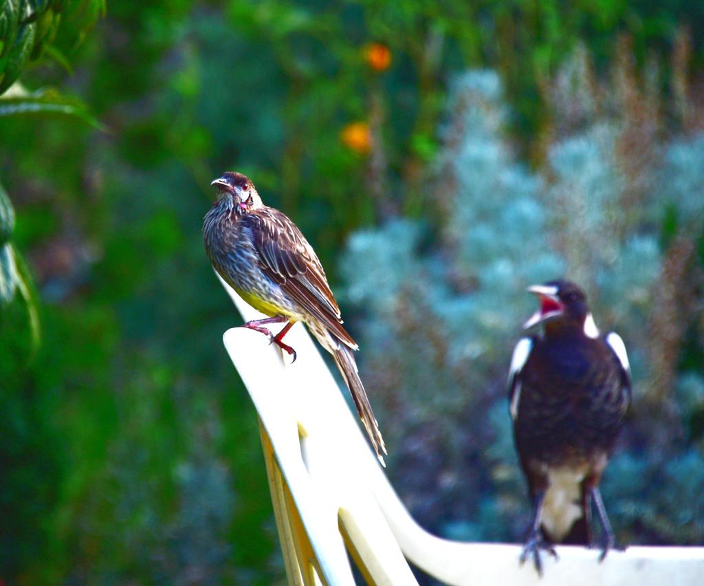 wattle bird and friend by fr1da