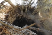 22nd Jan 2019 - Porcupine, Porcupine, Way up in a Tree . . .