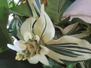 24th Jan 2019 - A very unusual Ginger flower