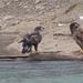 Juvenile Bald Eagles on Shore