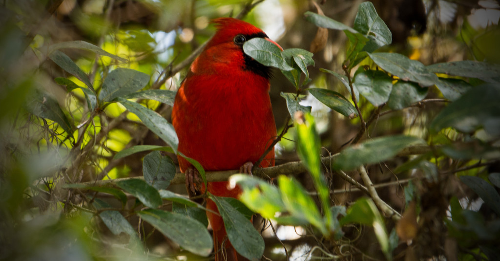 Shy Cardinal! by rickster549