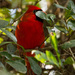 Shy Cardinal!