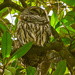 Snoozing Barred Owl!