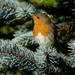 AND A ROBIN IN A FIR TREE