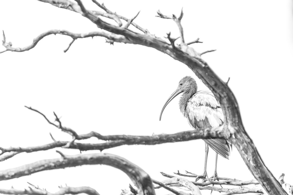Juvenile White Ibis by darylo