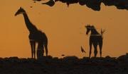 20th Dec 2018 - Sunset Giraffes