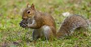 23rd Jan 2019 - Mr Squirrel, Just Dug up This Walnut!