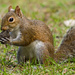 Mr Squirrel, Just Dug up This Walnut! by rickster549
