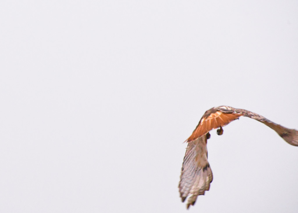 Another Red Tail by kareenking