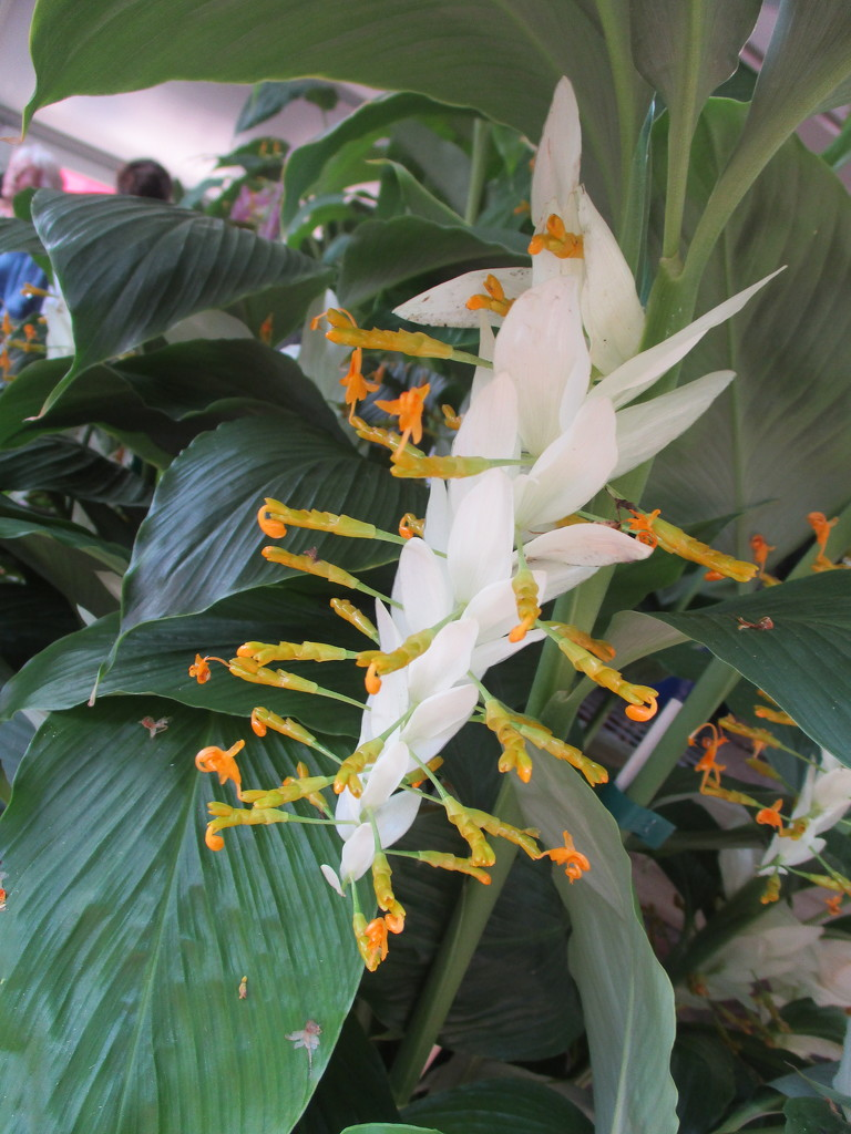 Ginger flower from Thailand  Called Dragon flower by 777margo