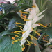 Ginger flower from Thailand  Called Dragon flower