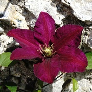 24th Jan 2019 - summertime clematis