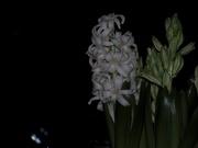 24th Jan 2019 - Hyacint