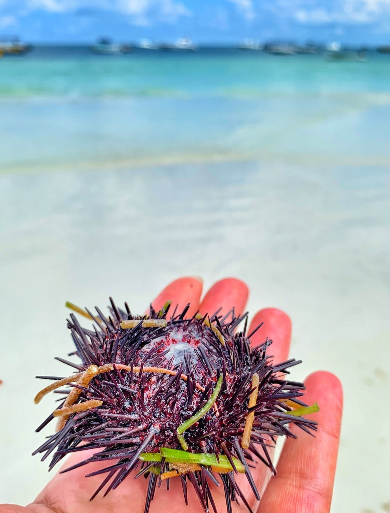 Sea urchin.  by cocobella