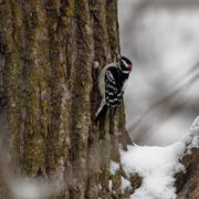 24th Jan 2019 - downy woodpecker