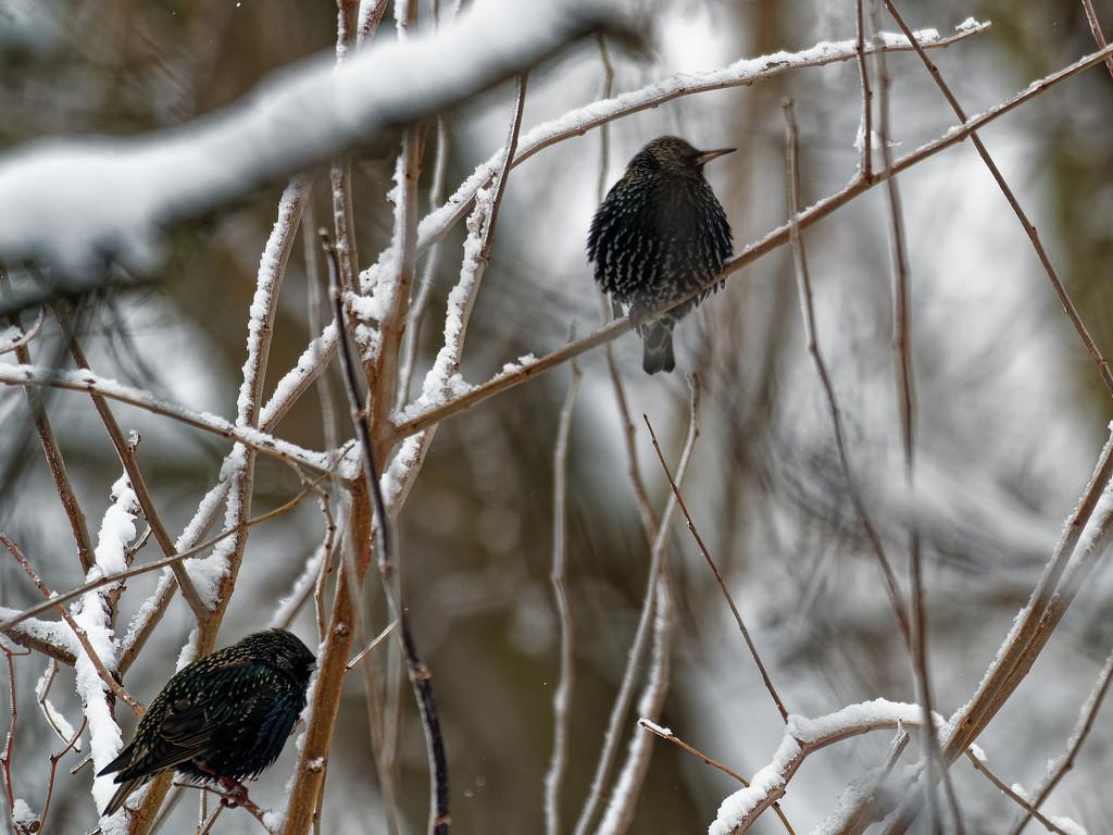 starlings by rminer