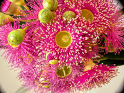 25th Jan 2019 - A closer look at gum flowers