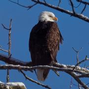 25th Jan 2019 - Bald eagle