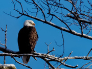 25th Jan 2019 - bald eagle