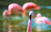 25th Jan 2019 - Flamingo Friday '19 04