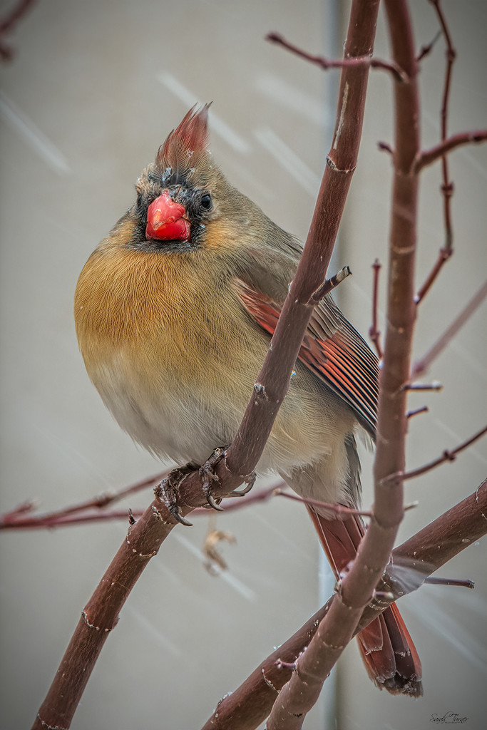 Cardinals + snow= happiness by samae