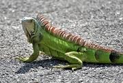 25th Jan 2019 - Green Iguana