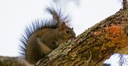25th Jan 2019 - Mohawk Squirrel!