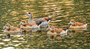 26th Jan 2019 - Egyptian Geese,