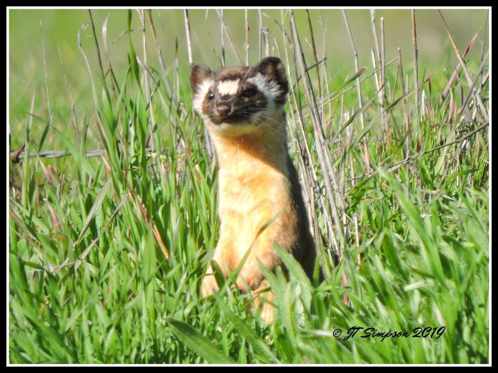 Long-Tailed Weasel... by soylentgreenpics