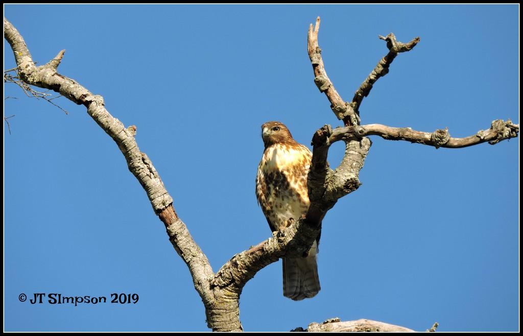 Branching out Hawk... by soylentgreenpics