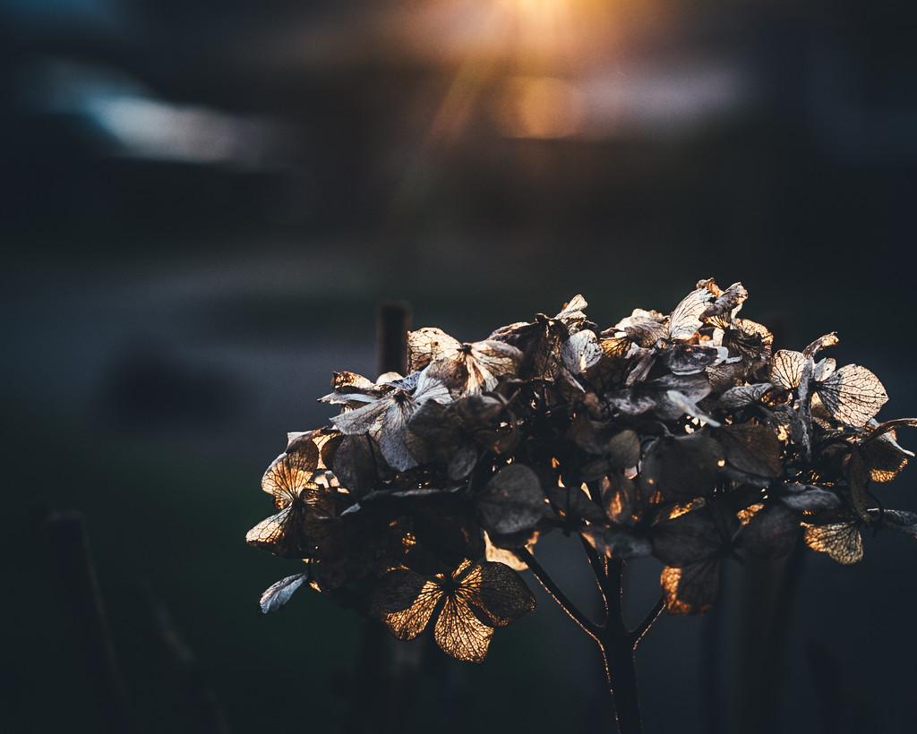 sunset hydrangea by mamazuzi