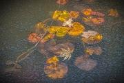 26th Jan 2019 - Frozen Water Lillies