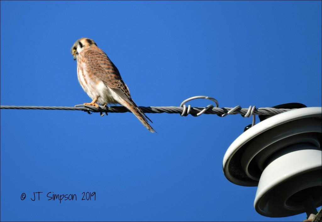 High Wire Kestrel... by soylentgreenpics