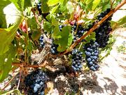 27th Jan 2019 - Ancients vines