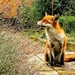 Foxy on the garden path by boxplayer