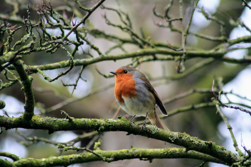 This lovely little robin was so kind and stayed still on the branch for a few minutes while I clicked away! by lyndamcg