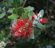 14th Jan 2019 - Last of the pohutakawa flowers