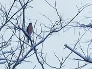 27th Jan 2019 - Cooper's hawk