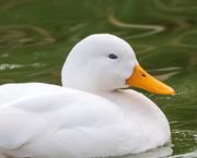 27th Jan 2019 - Duck