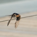 Hello and Goodbye Mr Welcome Swallow by gigiflower