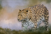 28th Jan 2019 - Amur Leopard