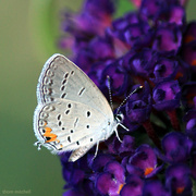 25th Sep 2018 - Eastern-tailed Blue