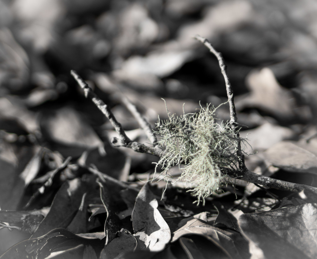 Lichen on a broken branch by randystreat