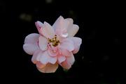 19th Jan 2019 - pink flower