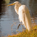 Egret Checking Out the Water! by rickster549