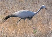 29th Jan 2019 - A Birds blue crane,